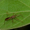 Reduviidae, Ricolla sp , Assassin bug <br /> 6382, Cerro Azul, Panama, 21 juin 2014