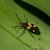 Lygaeinae  sp.  Lygaeidae , Seed bugs<br /> 5113, Cerro Azul, Panama, 18 juin 2014