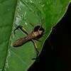 Hyalymenus sp.  Alydinae,  Broad-headed bug<br /> 5516, Cerro Azul, Panama, 19 juin 2014