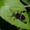 Leptoglossus phyllopus, Anisoscelini ,Coreidae,  Leaffooted bug<br /> 6862, Mount Totumas Cloud Forest, Panama, 25 juin 2014