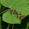 Dysdercus concinnus, Pyrrhocoridae ( Red bugs) <br /> 5126, Cerro Azul, Panama, 18 juin 2014