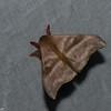 Hylesia continua, Saturnidae, Hemileucinae<br /> 5776, Cerro Azul, Panama, 19 juin 2014