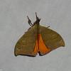 Saturnidae sp.<br /> 5322, Cerro Azul, Panama, 18 juin 2014