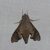 Enyo lugubris,  Macroglossinae<br /> 6117, Cerro Azul, Panama, 19 juin 2014