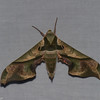 Adhemarius dariensis,  Smerinthinae, Sphingidae<br /> 6972, Mount Totumas Cloud Forest, Panama, 25 juin 2014