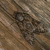Agrius  sp.  Sphinginae<br /> 7821, Mount Totumas Cloud Forest, Panama, 30 juin 2014