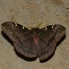 Paradirphia sp. male, Hemileucinae, Saturnidae<br /> 7824, Mount Totumas Cloud Forest, Panama, 30 juin 2014