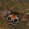 Automeris metzli, Saturnidae,  Hemileucinae<br /> 5754, Cerro Azul, Panama, 19 juin 2014