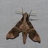 Callionima denticulata, Macroglossinae<br /> 6314, Cerro Azul, Panama, 20 juin 2014