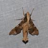 Callionima denticulata, Macroglossinae<br /> 6071, Cerro Azul, Panama, 19 juin 2014
