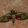 Adhemarius dariensis, Sphingidae, Smerinthinae<br /> 7186, Mount Totumas Cloud Forest, Panama, 26 juin 2014