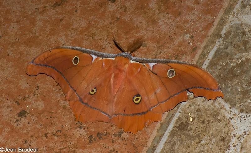 Antheraea godmani male, Saturnidae,  Saturniinae<br /> 7818, Mount Totumas Cloud Forest, Panama, 30 juin 2014
