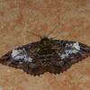 Erebidae, Thermesiini, Letis caligula<br /> 7851, Mount Totumas Cloud Forest, Panama, 30 juin 2014