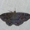 Letis hypnois, Erebidae<br /> 6083, Cerro Azul, Panama, 19 juin 2014