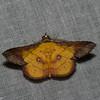 Cryptochrostis crocea, Calpinae, Erebidae<br /> 5831, Cerro Azul, Panama, 19 juin 2014