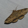 Zale viridans, Erebidae <br /> 5892, Cerro Azul, Panama, 19 juin 2014