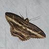 Letis buteo, Erebidae, Thermesiini<br /> 5771, Cerro Azul, Panama, 19 juin 2014