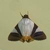 Eulepidotis electa,  Erebidae<br /> 7817, Mount Totumas Cloud Forest, Panama, 30 juin 2014
