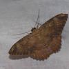 Erebidae, Letis xylia<br /> 6103, Cerro Azul, Panama, 19 juin 2014