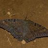 Ascalapha odorata male, La Sorcière Noire, Black Witch Moth<br /> 7806, Mount Totumas Cloud Forest, Panama, 29 juin 2014