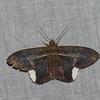 Hemeroblemma  sp. Erebidae<br /> 5787, Cerro Azul, Panama, 19 juin 2014