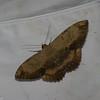 Erebidae, Thermesiini, Letis sp.<br /> 5007, Cerro Azul, Panama, 17 juin 2014