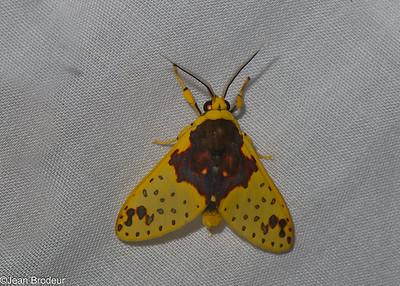 Papillons du Panama; Erebidae( Arctiidae)
