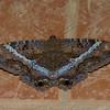 Ascalapha odorata femelle, La Sorcière Noire,  Black Witch Moth<br /> 7947, Mount Totumas Cloud Forest, Panama, 30 juin 2014