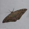 Ascalapha odorata femelle, La Sorcière Noire, Black Witch Moth<br /> 5800, Cerro Azul, Panama, 19 juin 2014