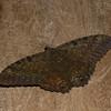 Ascalapha odorata male, La Sorcière Noire, Black Witch Moth, Erebidae<br /> 7877, Mount Totumas Cloud Forest, Panama, 30 juin 2014