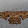 Calledapteryx sp. Epipleminae, Uraniidae, Brown Scoopwing Moth<br /> 7118, Mount Totumas Cloud Forest, Panama, 25 juin 2014