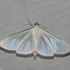 Crambidae, Palpita flegia<br /> 6494, Cerro Azul, Panama, 21 juin 2014