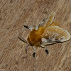 Megalopyge opercularis,  Megalopygidae, Southern Flannel Moth<br /> 7304, Mount Totumas Cloud Forest, Panama, 26 juin 2014