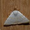 Eulepidotis alabastraria,  Noctuidae<br /> 7436, Mount Totumas Cloud Forest, Panama, 27 juin 2014