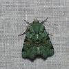 Noctuidae sp.<br /> 6079, Cerro Azul, Panama, 19 juin 2014