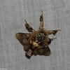 Megalopygidae sp. <br /> 5827, Cerro Azul, Panama, 19 juin 2014