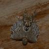 Euglyphis phedonioides, Poecilocampinae, Lasiocampidae<br /> 7329, Mount Totumas Cloud Forest, Panama, 26 juin 2014