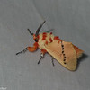 Trosia sp.  Megalopygidae<br /> 7018, Mount Totumas Cloud Foresr, Panama, 25 juin 2014