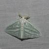 Caviria vinasia , Limantridae<br /> 5765, Cerro Azul, Panama, 19 juin 2014