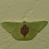 Nemoria astraea, Geometridae<br /> 7576, Mount Totumas Cloud Forest, Panama, 27 juin 2014