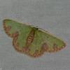 Geometridae, Synchlora gerularia<br /> 5381, Cerro Azul, Panama, 18 juin 2014