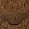Cyclophora aurantiata, Sterrhinae, Cosymbiini, Geometridae<br /> 7649, Mount Totumas Cloud Forest, Panama, 27 juin 2014