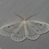Leucula meganira, Geometridae<br /> 6966, Mount Totumas Cloud Forest, Panama, 25 juin 2014