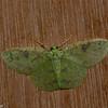 Nemoria sp, Geometridae<br /> 7630, Mount Totumas Cloud Forest, Panama, 27 juin 2014