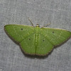 Geometridae, Synchlora indecora<br /> 5975, Cerro Azul, Panama, 19 juin 2014