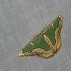 Oospila sp. Geometridae<br /> 7087, Mount Totumas Cloud Forest, Panama, 25 juin 2014