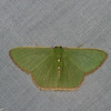 Nemoria lixaria,  Geometridae<br /> 5949, Cerro Azul, Panama, 19 juin 2014