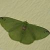 Nemoria erina, Geometridae<br /> 7541, Mount Totumas Cloud Forest, Panama, 27 juin 2014