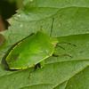 Chinavia hilaris, Green Stink Bug,  Nezarini, Pentatomidae<br /> 0814, St-Hugues, Quebec, 28 septembre 2013