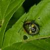 Chinavia hilaris nymphe,  Pentatomidae,  Green Stink Bug<br /> 9065, St-Hugues, Quebec, 6 aout 2014